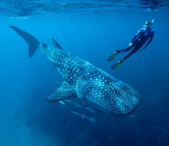 Whale Shark Encounter VIP Private Tour